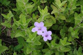 Native Plants - WildFlowers - University of Illinois Extension