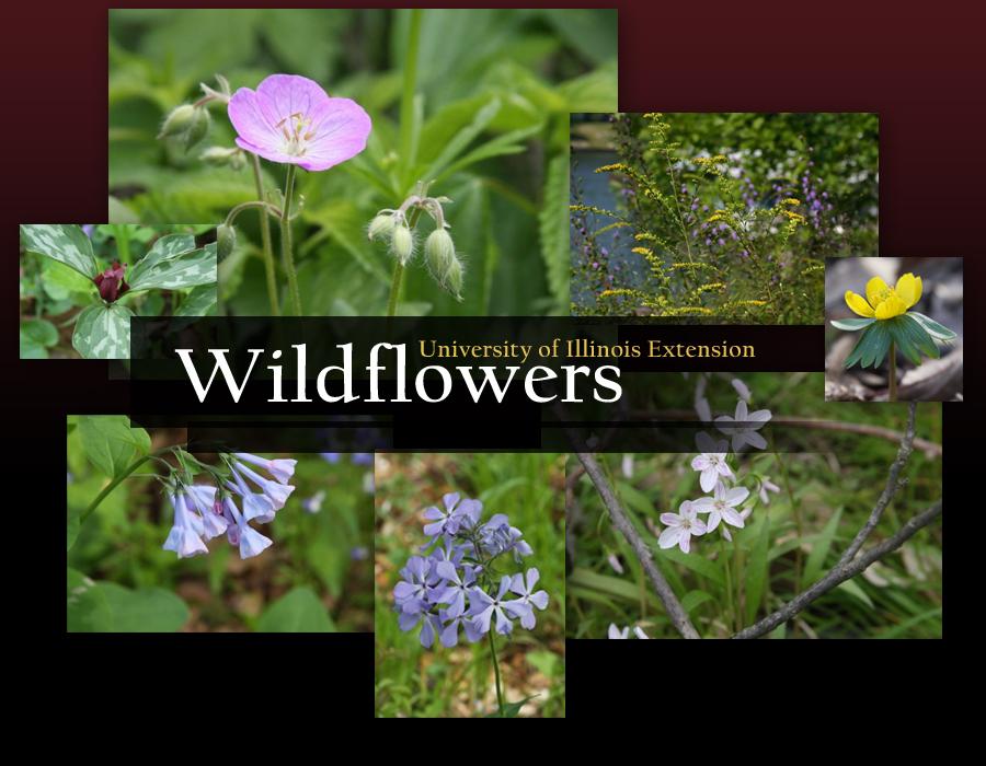 Wildflowers- University of Illinois Extension
